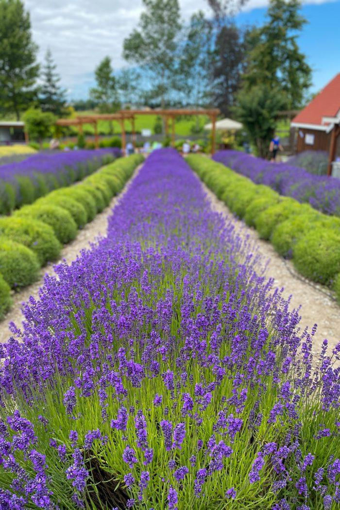 Flower Farms of the Pacific Northwest Series Part Two – Purple Haze Lavender Farm