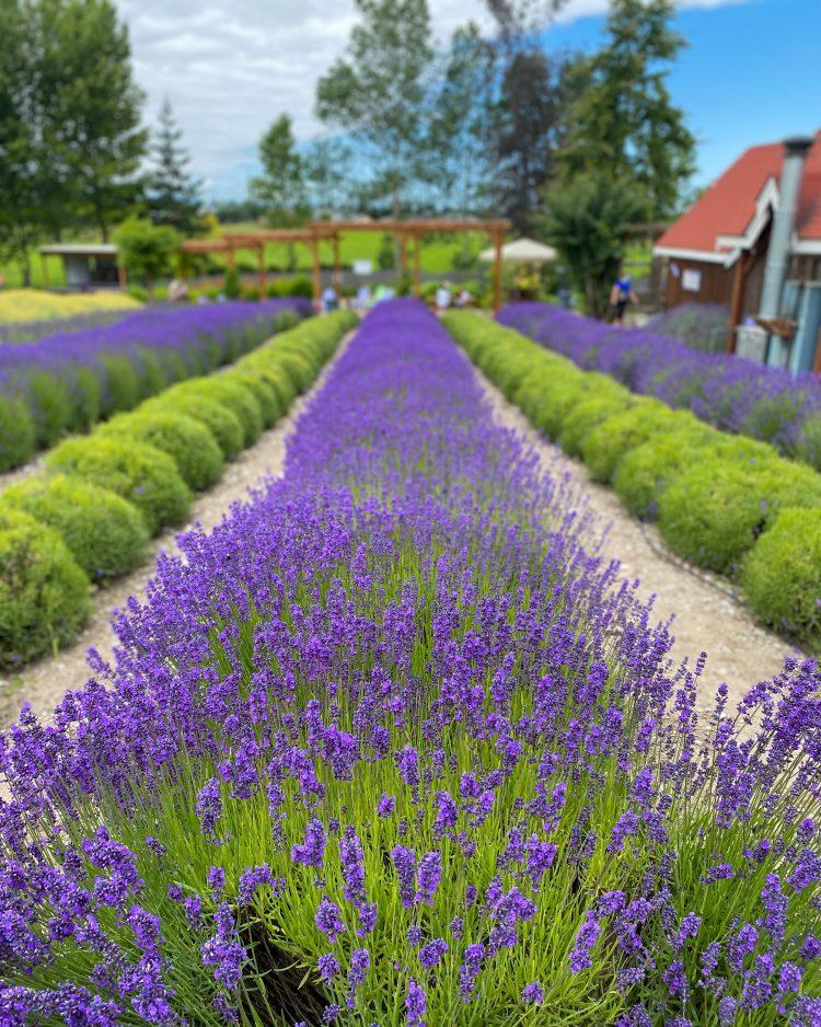 lavender farms pacific northwest