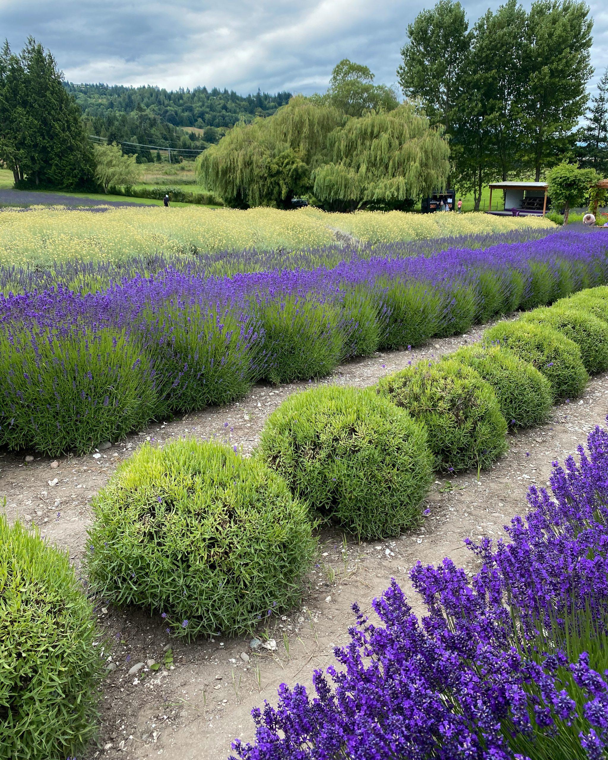 lavender farms Washington state