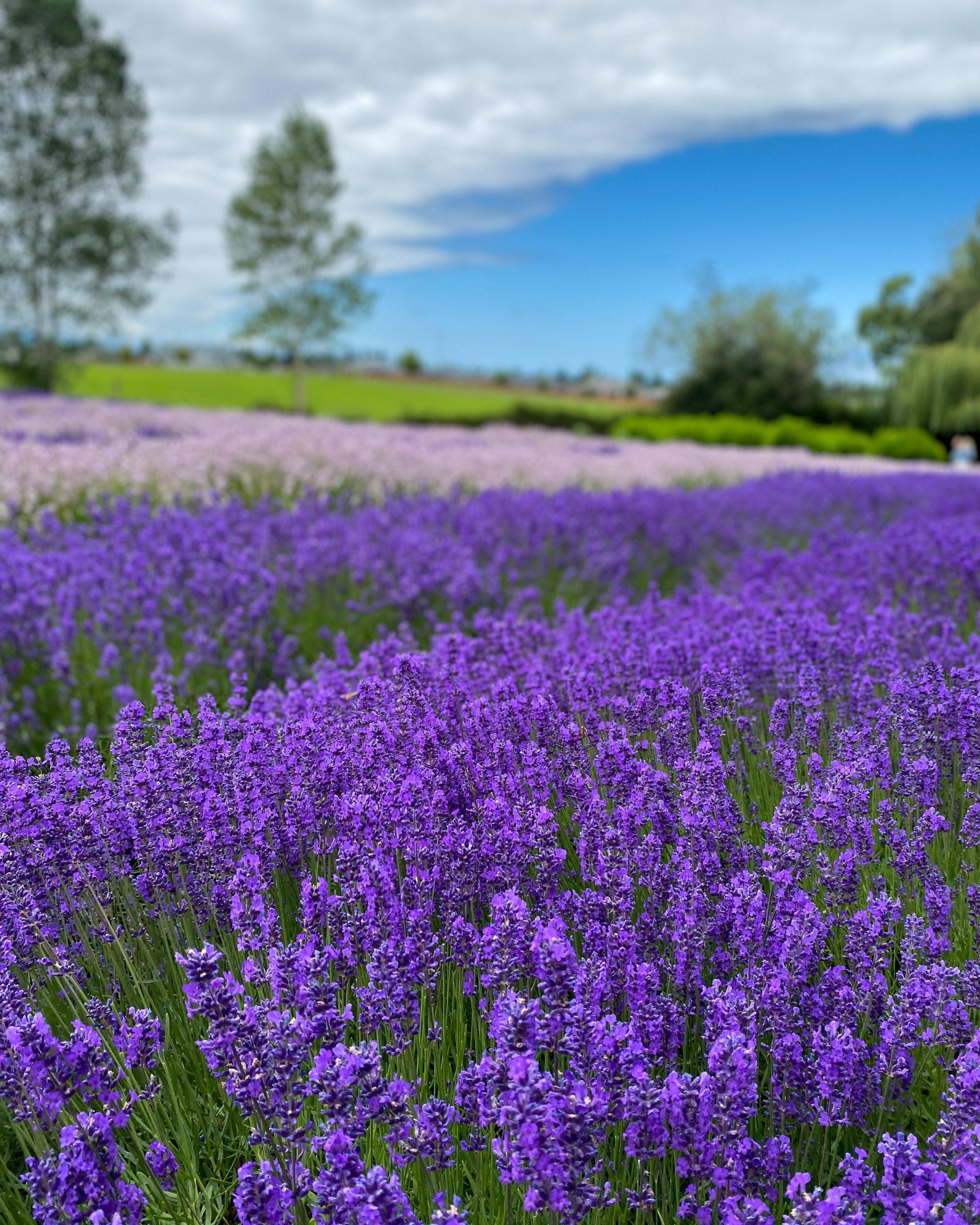 blue sky lavender fields