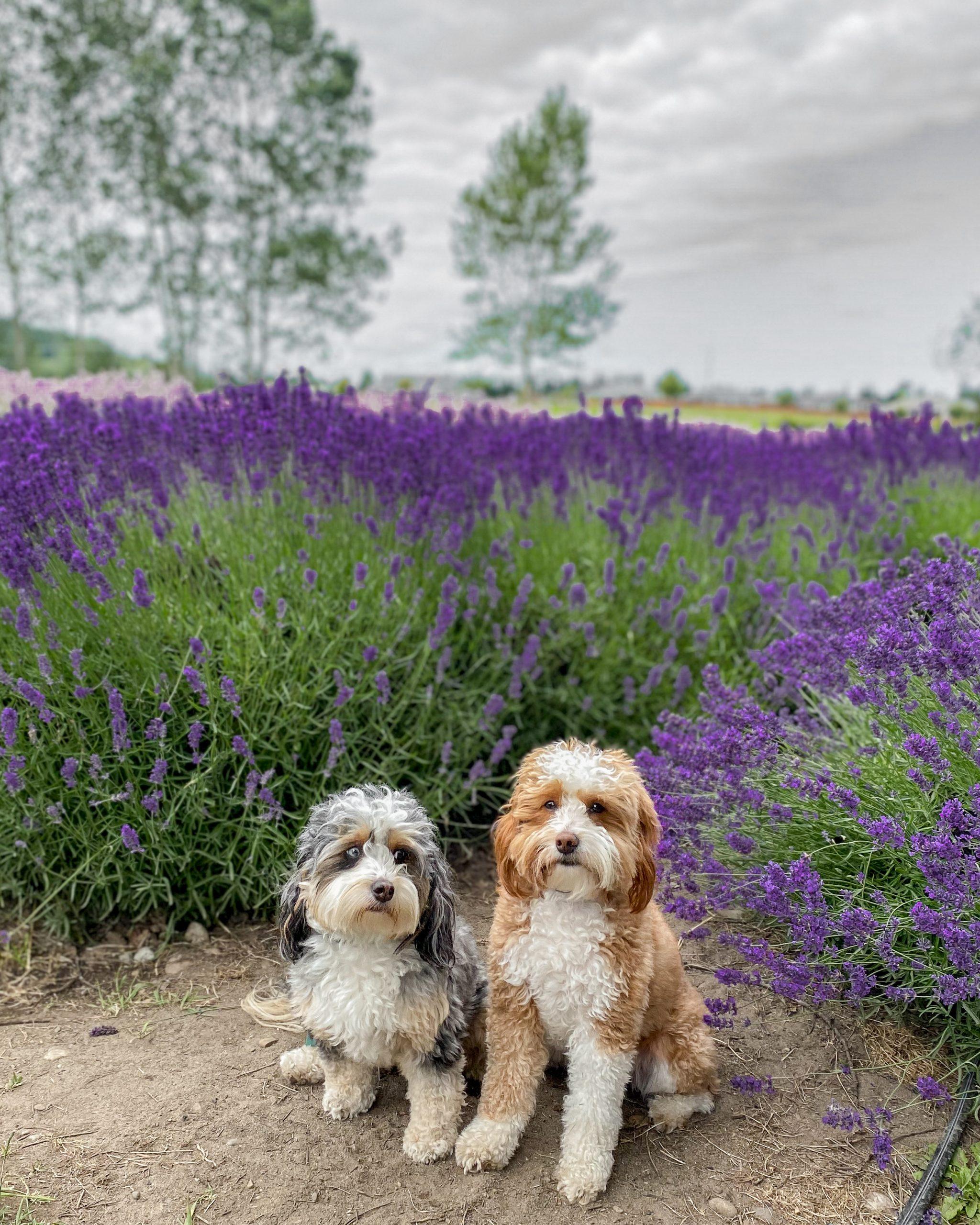 bernedoodles lavender farm